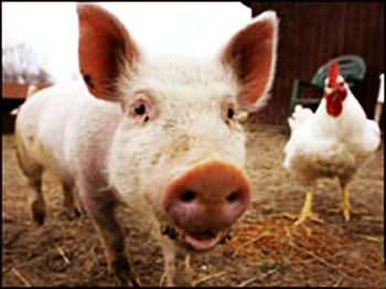 Pig-and-chicken